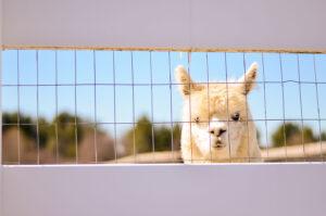 Alpaca behind fence